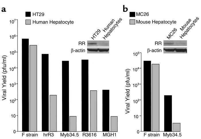 Replication of HSV-1 mutants in colon carcinoma cells and hepatocytes. (...