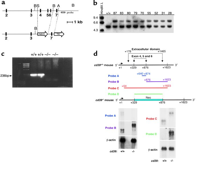 Generation of cd39–/– mice by homologous recombination. A gene targeting...