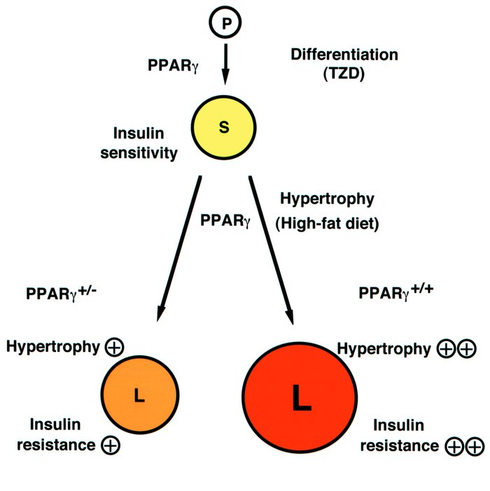 Roles of PPARγ in the adipocyte. In this model, PPARγ acts at two steps ...