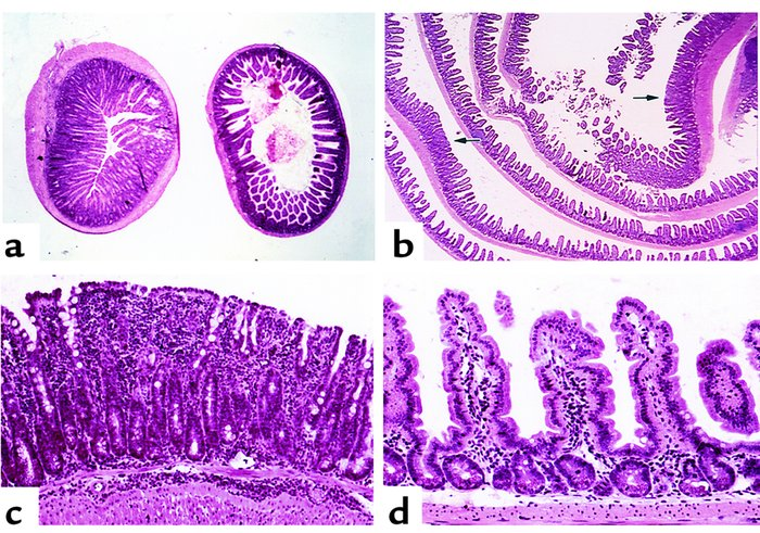 Segmental nature of inflammatory lesions in SAMP1/Yit mice. (a) Sequenti...