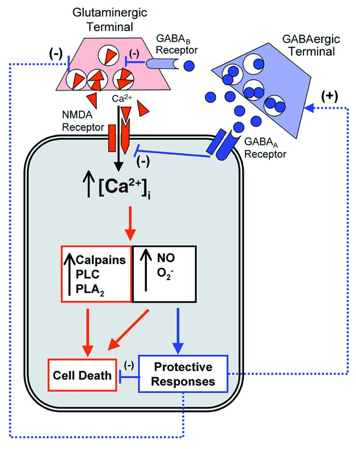 Schematic of mechanisms implicated in ischemia-induced neuronal death (i...