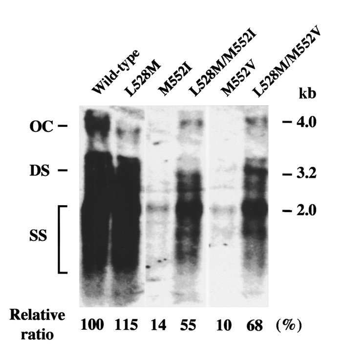 Southern blot hybridization analysis of replication of wild-type HBV and...