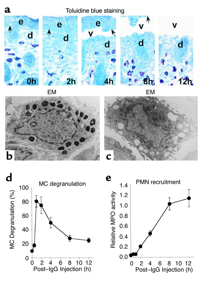 Time-course of MC degranulation in MC-sufficient mice injected intraderm...