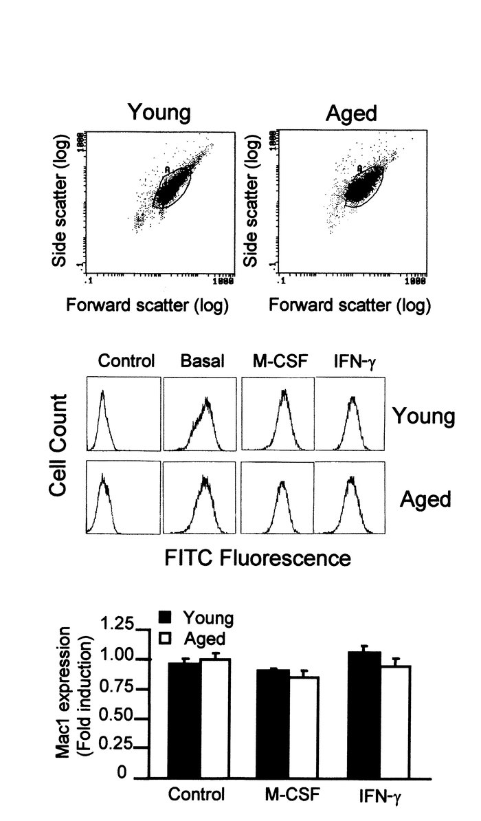 Similar size and antigen Mac1 expression in macrophages from aged and yo...