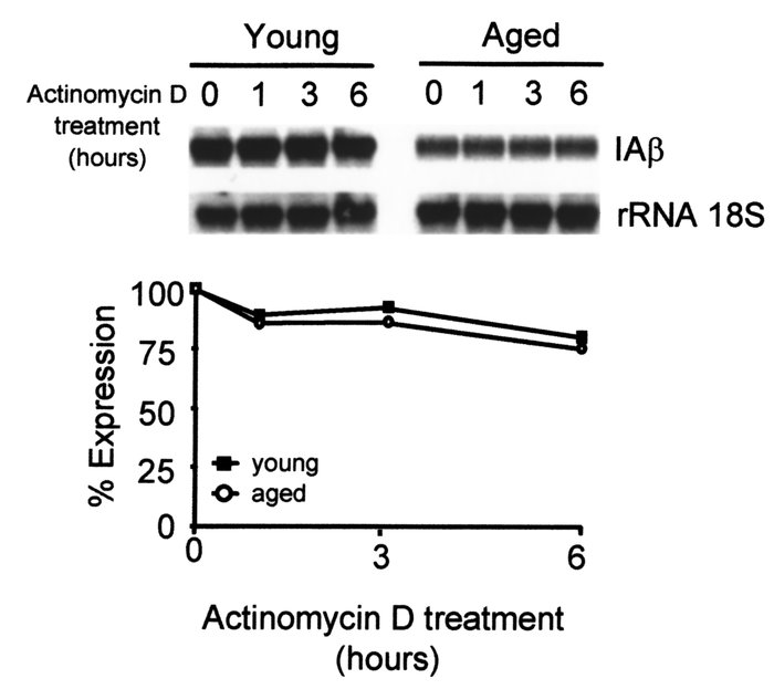 Similar half-life of IAβ mRNA in IFN-γ–treated macrophages from young an...