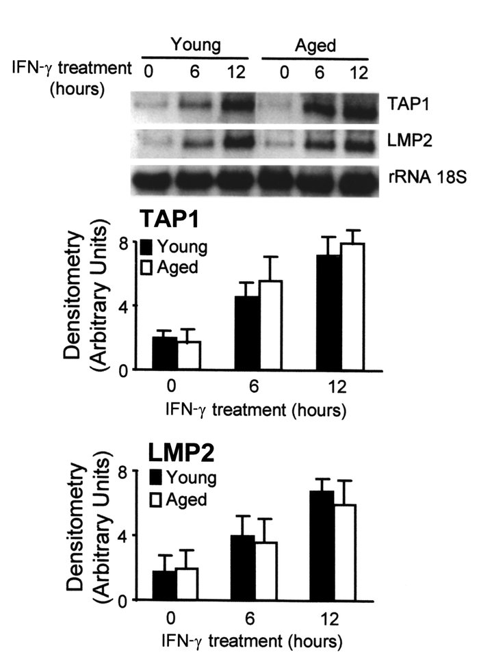 The kinetics of TAP1 and lmp2 mRNA expression in macrophages from aged a...