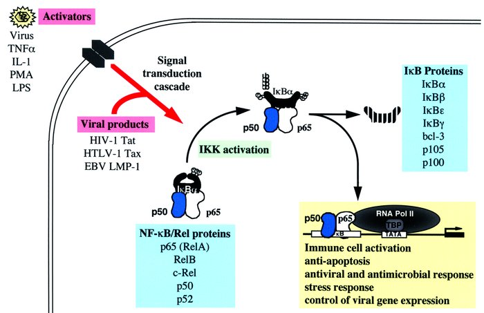 The biochemistry of NF-κB activation. NF-κB is sequestered in the cytopl...
