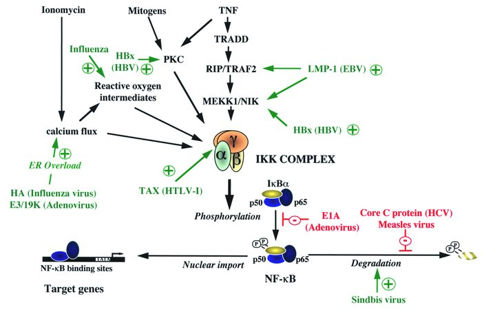 Modulation of the NF-κB pathway by viruses. Mechanisms of activation of ...