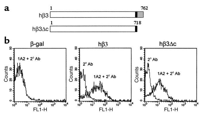 Efficient hβ3 integrin surface expression is obtained after retroviral t...