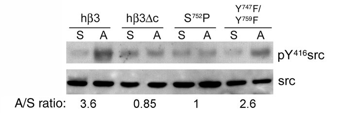 Activation of c-src requires the cytoplasmic tail of β3, and is abrogate...