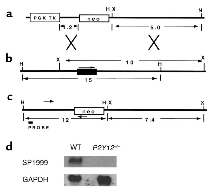 Targeting the SP1999 (P2Y12) gene. (a) The targeting construct. The neom...