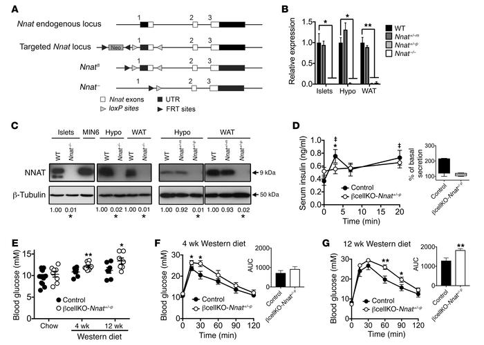Effect of Nnat deficiency in vivo. (A) Targeted inactivation of the Nnat...