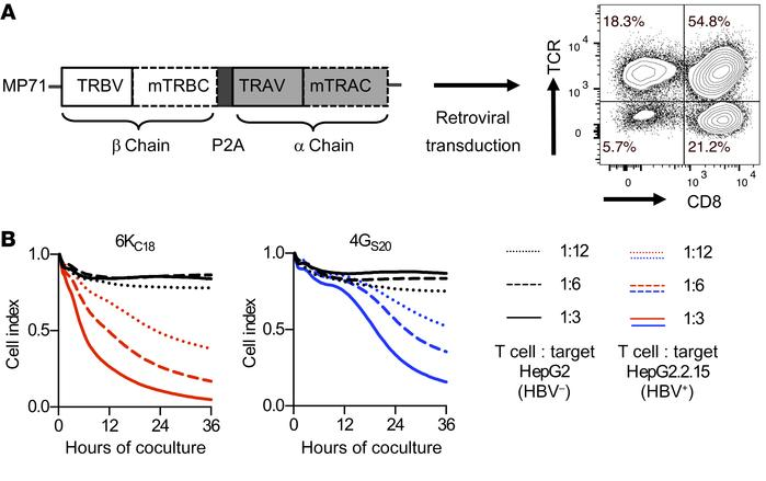 Genetic engineering and analysis of HBV-specific T cells. (A) Codon-opti...