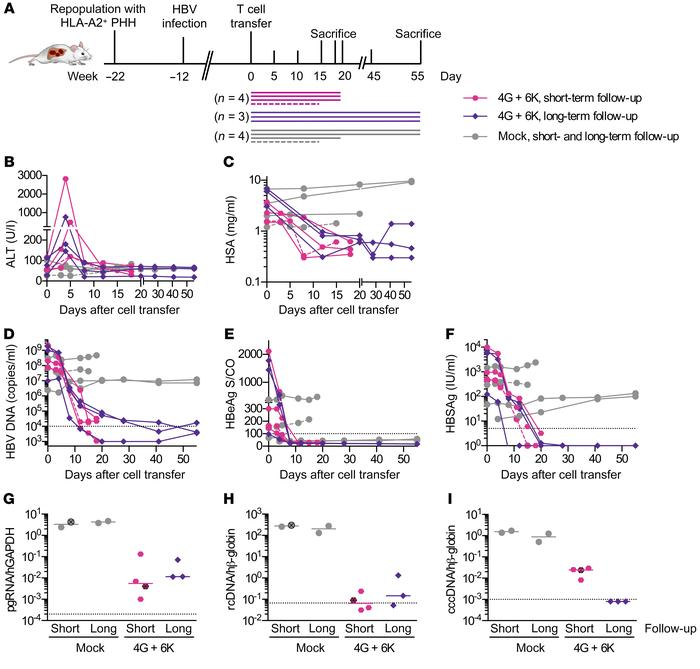 Antiviral activity of TCR-grafted T cells in HBV-infected humanized mice...