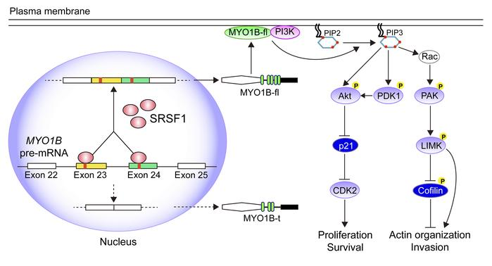 Schematic illustration of the molecular pathways by which SRSF1 promotes...