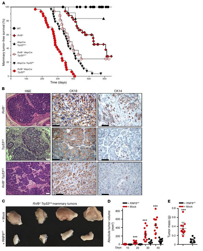 RNF8 deficiency promotes spontaneous mammary tumorigenesis in mouse mode...