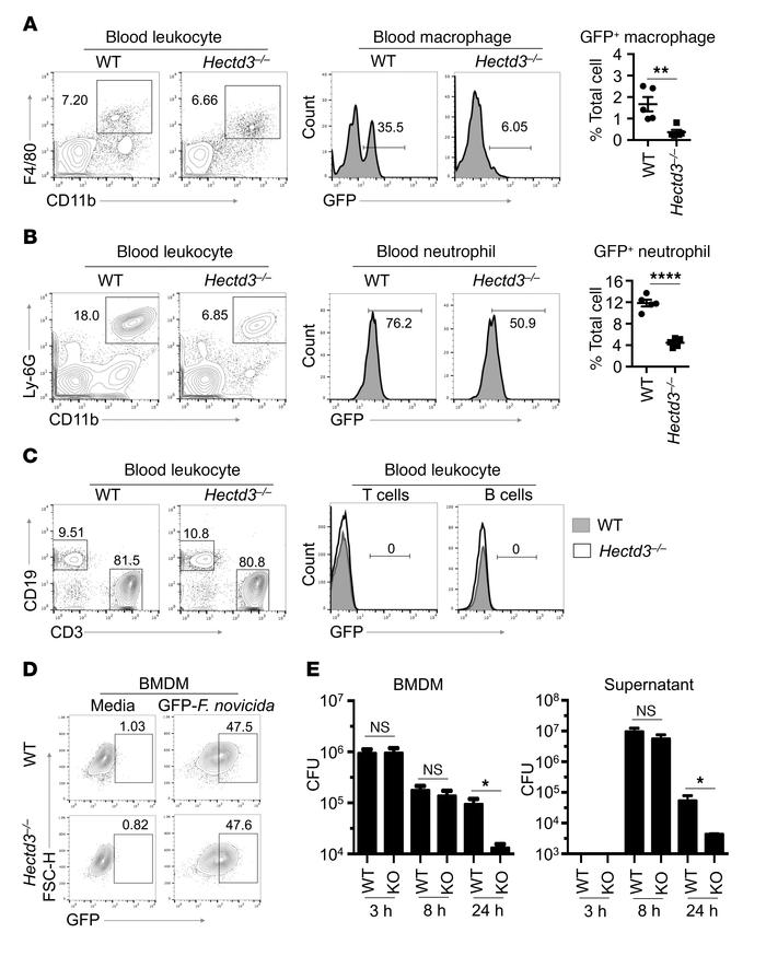 Hectd3–/– mice have fewer F. novicida–infected macrophages and neutroph...
