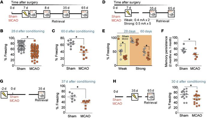 Cortical stroke impairs long-term memory in mice. (A) Experimental desig...