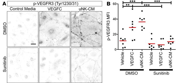Conditioned media from uNK cells activates VEGFR3. (A) Representative im...