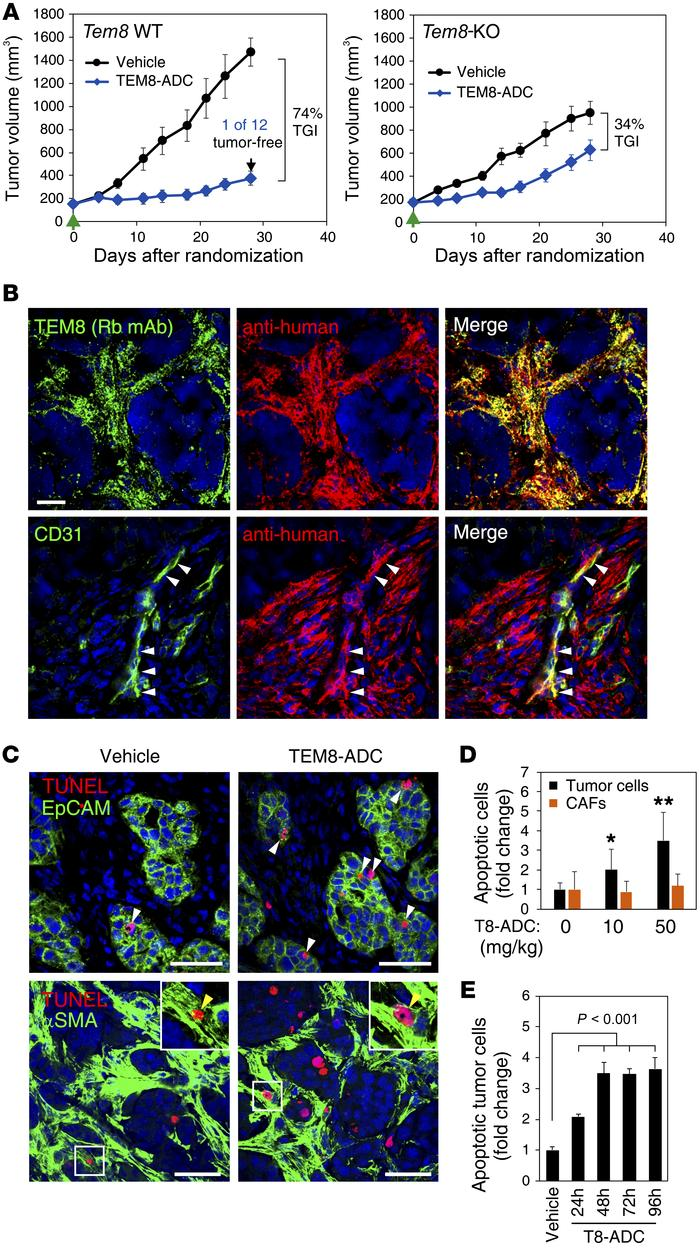 TEM8 expression in stromal cells is required for TEM8-ADC tumor cell kil...