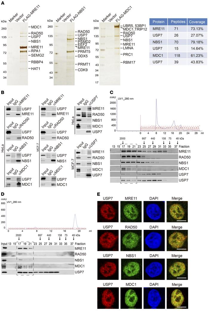 USP7 is physically associated with the MRN-MDC1 complex. (A) Immunopurif...