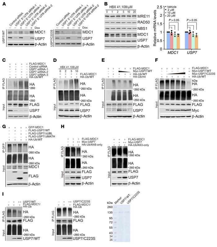 USP7 deubiquitinates MDC1. (A) HeLa cells with Dox-inducible expression ...