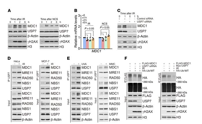 USP7-promoted MDC1 stabilization is potentiated by DNA damage. (A) HeLa ...