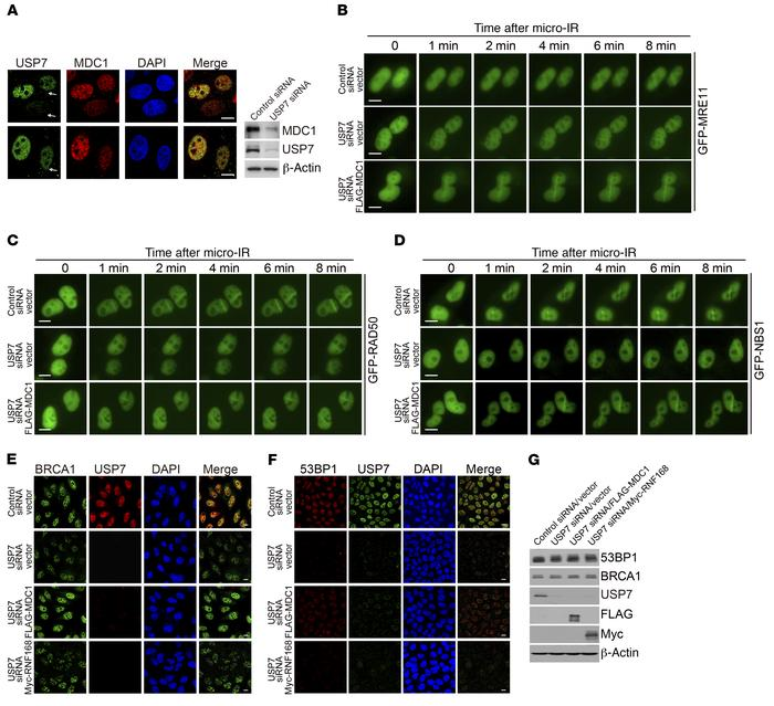 MDC1 is an essential mediator in the USP7-regulated DDR. (A) HeLa cells ...