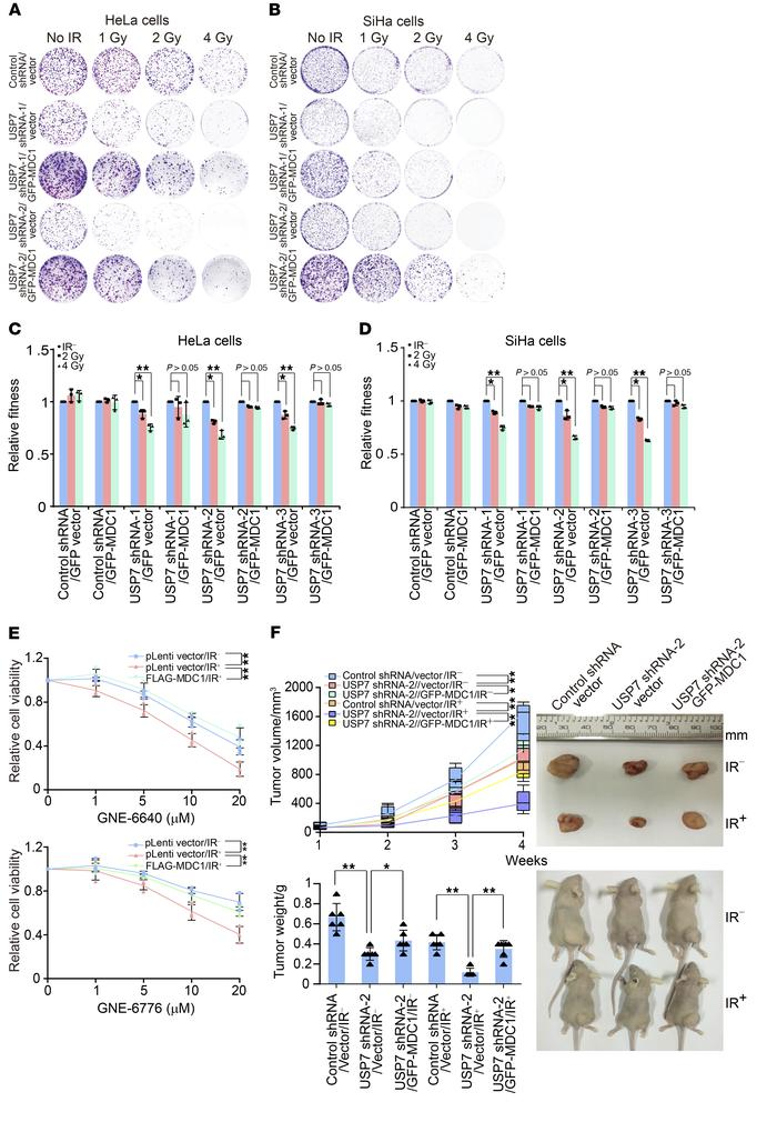 USP7-promoted MDC1 stabilization is required for the growth of cervical ...