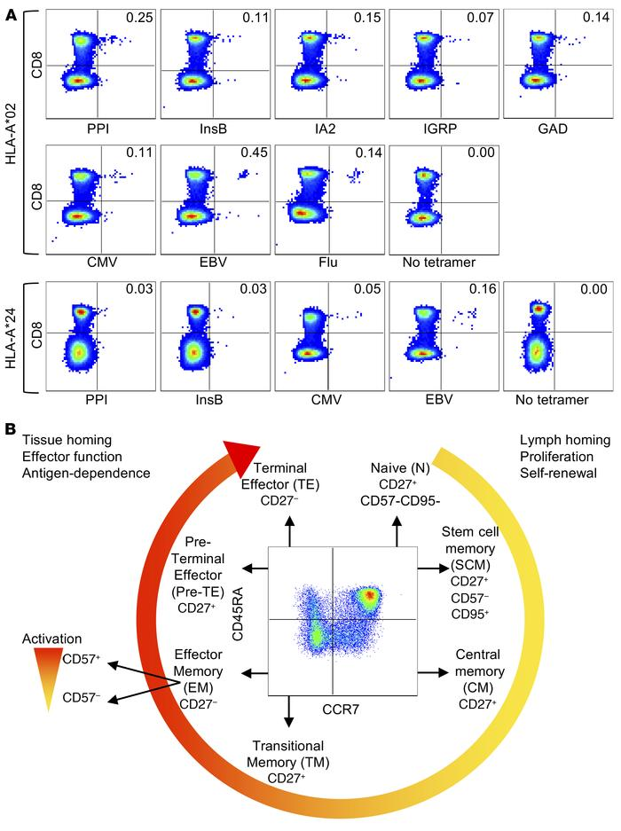 Identification of antigen-specific CD8+ T cell subsets. (A) Representati...