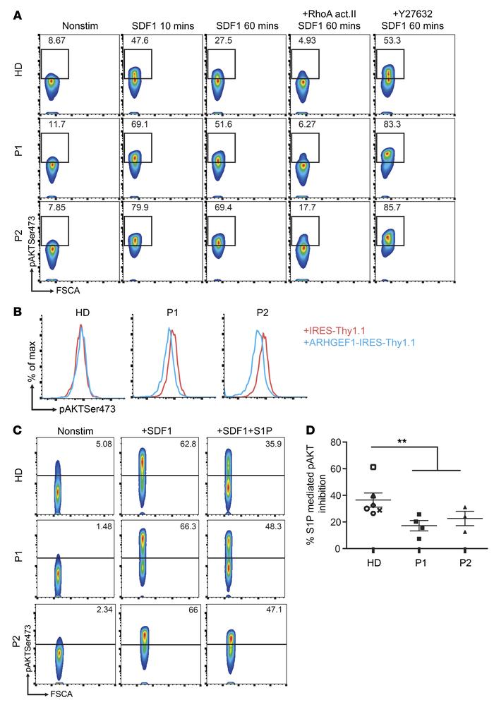 ARHGEF1-deficient lymphocytes are less able to repress AKT activation. (...