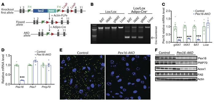 Generation of mice with adipose-specific knockout of Pex16. (A) Gene tar...