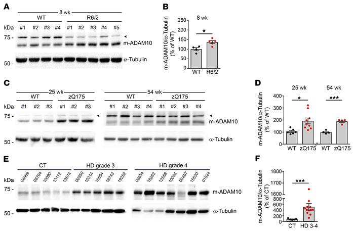The mature active form of ADAM10 is increased in HD mouse and human stri...