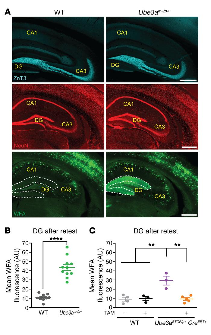 Increased deposition of PNNs in dentate gyrus of flurothyl-kindled AS mi...