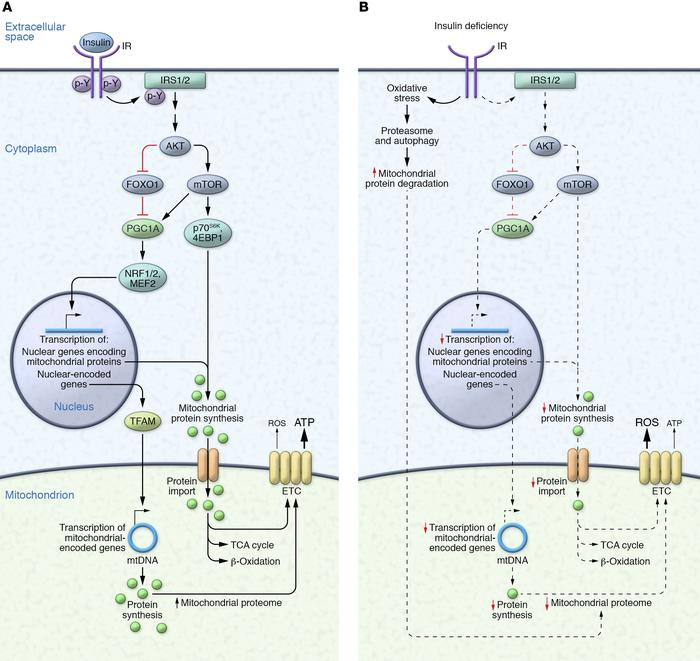 The mitochondrial proteome in the presence and absence of insulin signal...