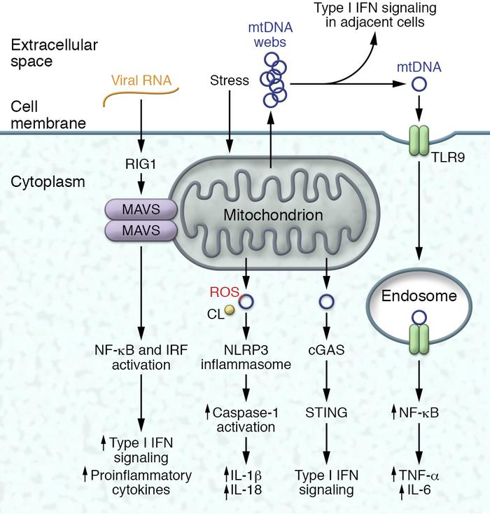 Mitochondria-linked activation of immune pathways. Mitochondrial content...
