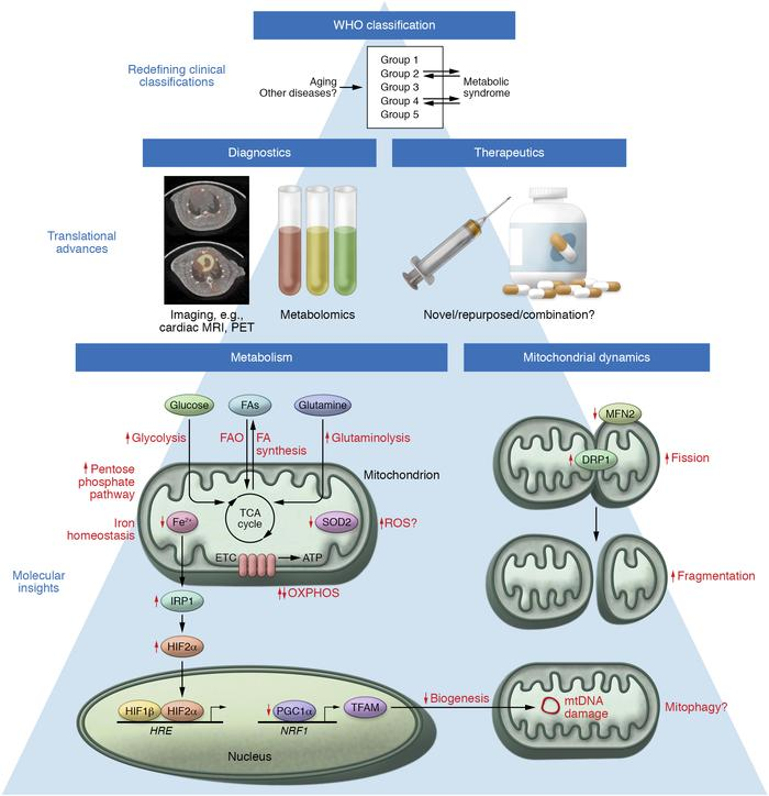 Emerging concepts of mitochondrial dysfunction in PH. Metabolic dysregul...
