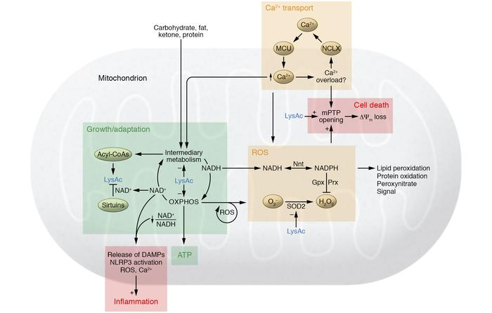 Maladaptive mechanisms connecting mitochondrial dysfunction and progress...