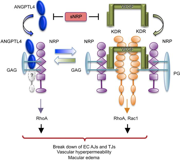 Schematic showing the binding of ANGPTL4 to NRP as well as the binding o...