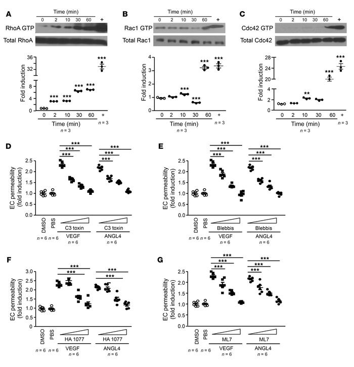 ANGPTL4 induces a rapid activation of RhoA and actomyosin contraction an...
