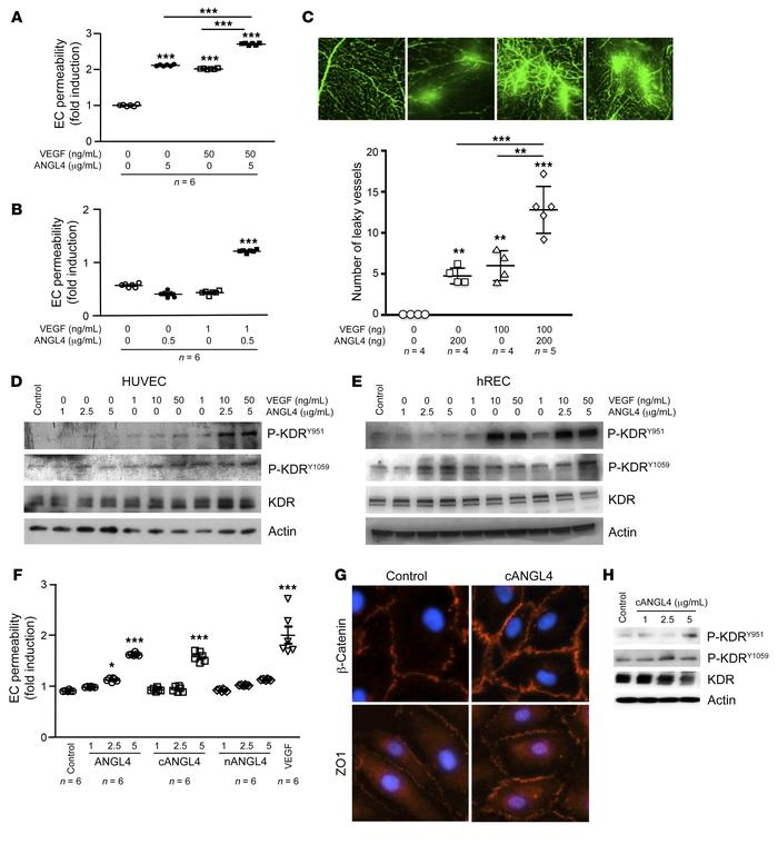 ANGPTL4 and VEGF cooperate in the induction of the increase in retinal v...