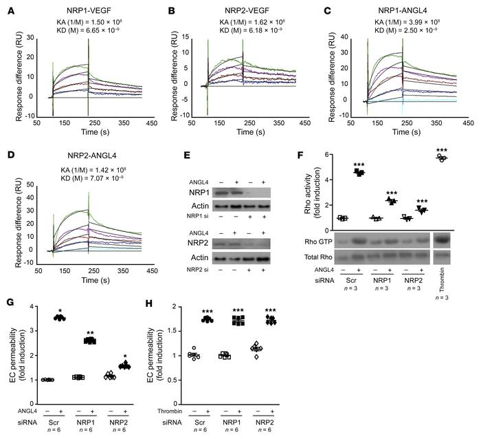 NRP1 and NRP2 bind ANGPTL4 and mediate its promotion of Rho activation a...