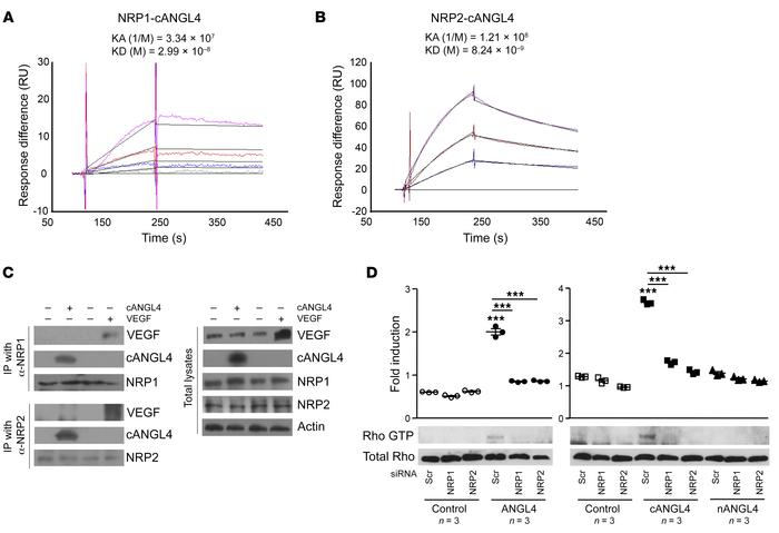 NRP1 and NRP2 bind cANGPTL4 and mediate cANGPTL4-induced promotion of Rh...