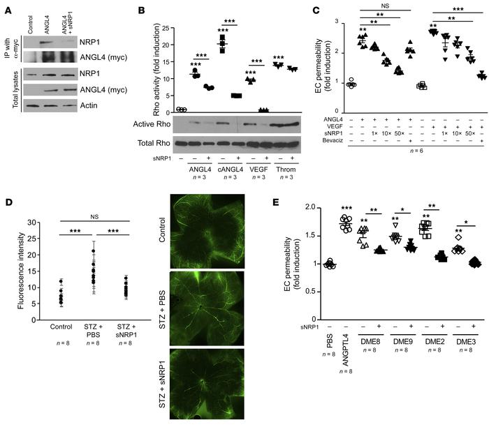 sNRP1 blocks ANGPTL4 activation of RhoA and vascular permeability in vit...