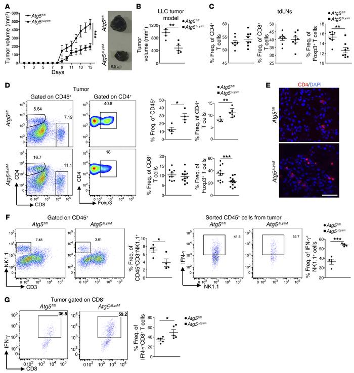 Deficiency of autophagy pathway in the myeloid compartment attenuates tu...