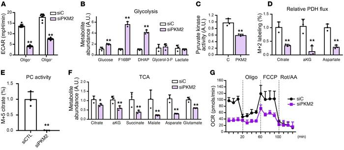 Glycolysis is impaired in PKM2 knockdown ECs. (A) Extracellular acidific...