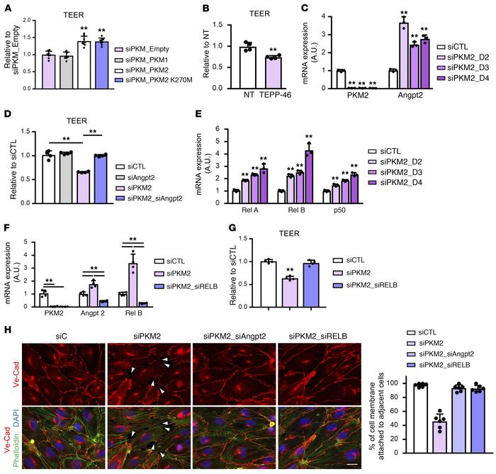 PKM2 promotes vascular barrier function by suppressing NF-kB and ANGPT2 ...