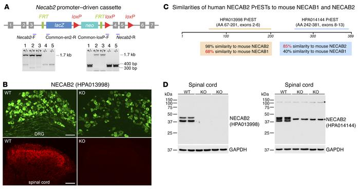 Generation of Necab2–/– mice and antibody validation. (A) Construct for ...