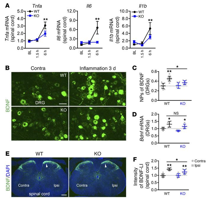 Reduced proinflammatory cytokine and BDNF signaling in Necab2–/– mice. (...