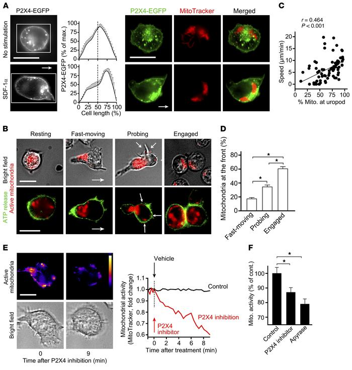 P2X4 receptors promote mitochondrial activation and localized ATP releas...